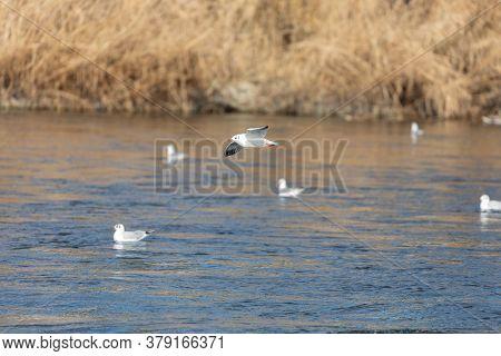 Mediterranean Gull Flies Over Blue Water In Sunset Over Other Mediterranean Gulls Sitting On The Wat