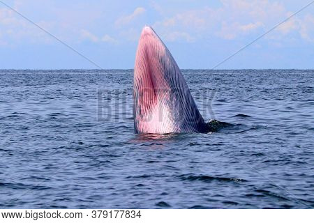 Bryde's Whale Or Eden's Whale