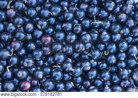 Black Currant, Harvesting. Background Image Of Berries.