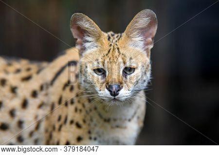 Close Young Serval Cat (felis Serval) Portrait