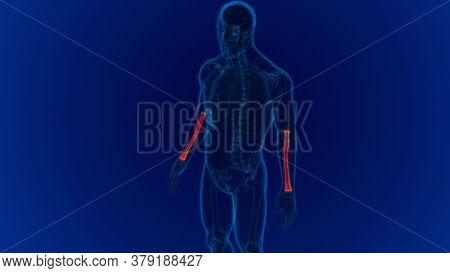 Human Skeleton Anatomy Radius Bone 3D Rendering