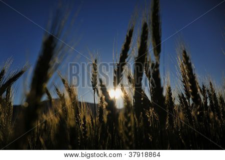 Wheat On The Sunset Light