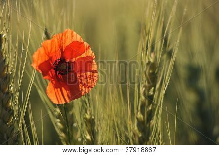 Lonely Poppy In A Wheatfield
