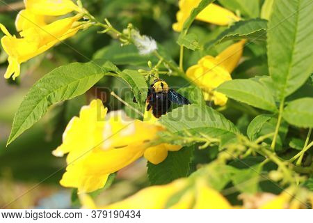 Bumble Bee With A Single Yellow Flower Pollen