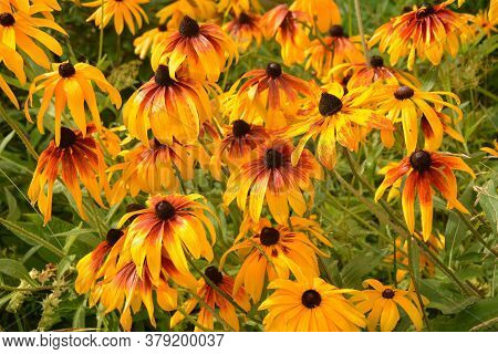 Graceful Flower Of A Coneflower ( Rudbeckia Hirta Maya )