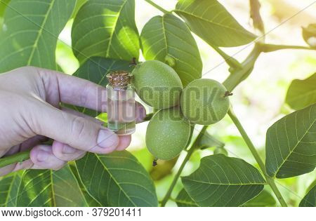 Hand Holds A Bottle With Walnut Essential Oil. The Concept Of Aromatherapy And Cosmetology With A Nu