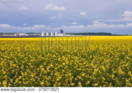 Yellow Field Of Blooming Canola And A Number Of Granaries On The Horizon