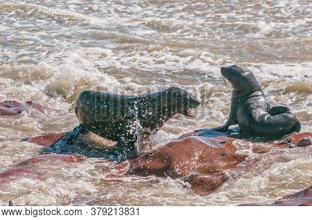 Two Cape Fur Seals, Arctocephalus Pusillus, In A Stand-off At Cape Cross In Namibia