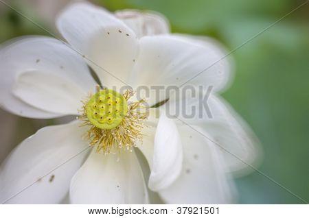 White Lotus bloom Close Up