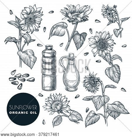 Sunflower Flowers And Oil Bottles, Sketch Vector Illustration. Agricultural Plant And Seeds. Hand Dr