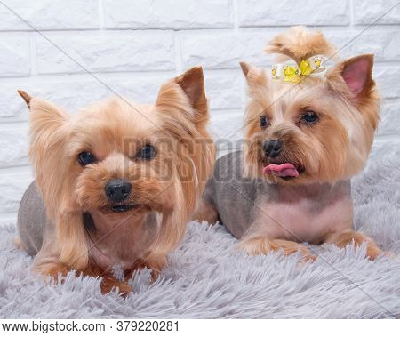 Two Small Yorkshire Terriers Are Lying On A Gray Carpet Against A Brick Background, After A Complete