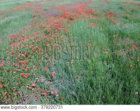 Red Poppies Bloom Among Field Herbs In Sunny Weather, Aerial View.