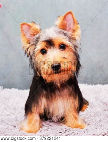 The Yorkshire Terrier Is Very Hairy And Cute In Front Of A Grey Background. To Prepare For The Proce