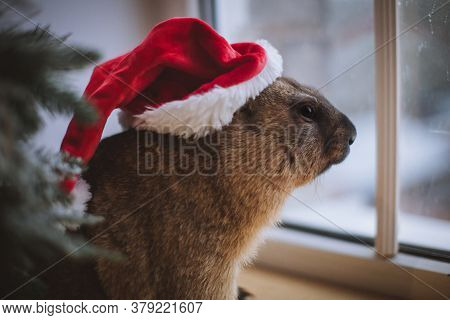 Steppe Marmot In Christmass Hat. New Years Celebration.