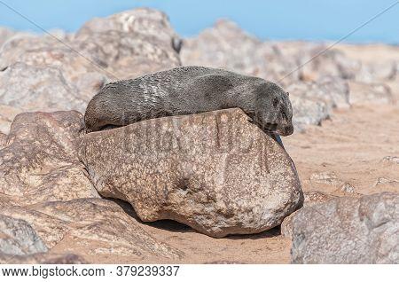 A Cape Fur Seal, Arctocephalus Pusillus, Basking In The Sun At Cape Cross In Namibia