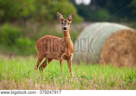 Roe Deer Doe Standing On Hay Field In Summer Nature.