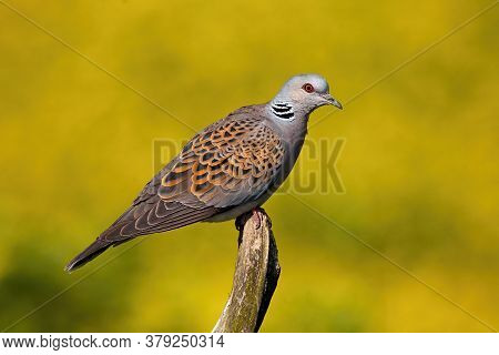 European Turtle Dove Sitting On Bough In Summer Nature.