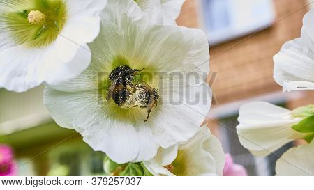 Bumblebee Collects Pollen In Flowers. Close Up. Color