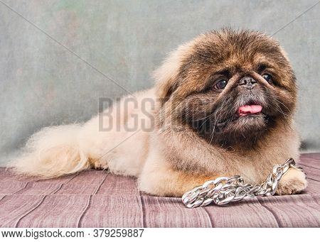 A Pekingese Dog Lies On A Vintage Background. Decorative Dog Breed. Breed Haircut.