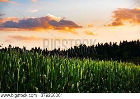 Closeup Of A Young Maize Plant In Summer. Corn Field Background