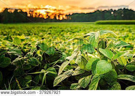 Rural Landscape With Fresh Green Soy Field In Sunset Light, Soybean Field