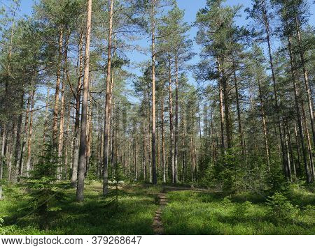 Pine Forest In Summer Beautiful Landscape With Footpath