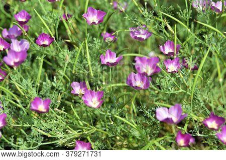 Pink Flowers Callirhoe Involucrata Callirhoe Coverlet In The Garden