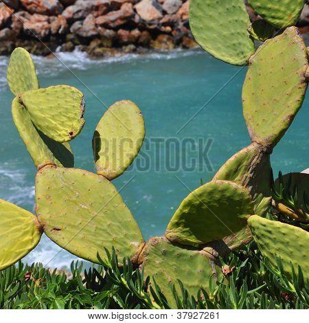 Fügekaktusz kaktusz a parton