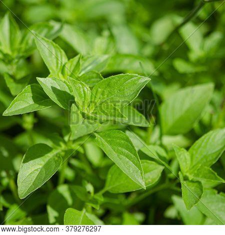Organic Fragrant Green Basil Grows In An Open-air Garden
