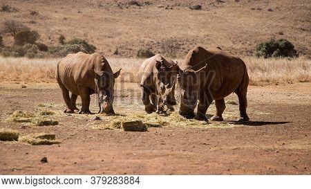 Three Adult Rhinos Eat Dry Grass In The Savannah. Rhino Family. Safari Wildlife. Wild Animal In The