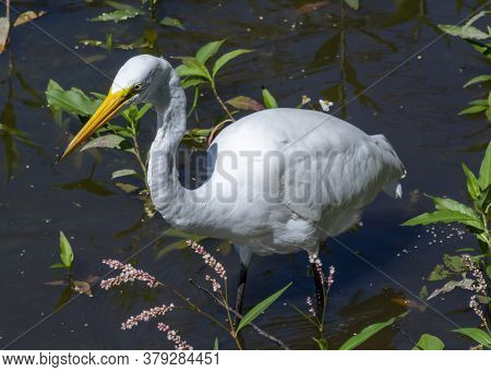 A Juvenile Little Blue Heron Stands Motionless In A Murky Virginia Marsh, Waiting For A Meal Of Fish
