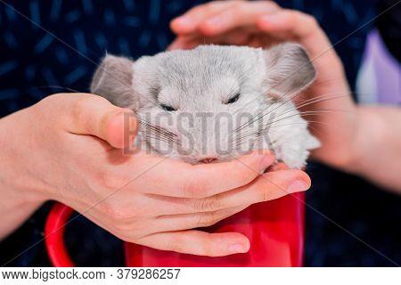 Woman Strokes A White Chinchilla Sitting In A Red Mug. Cute Fluffy Chinchilla. A Beautiful Pet.