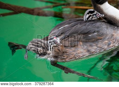 Great Crested Grebe (podiceps Cristatus) With Young Chicks In The Back Is Swimming In Lake Geneva, S