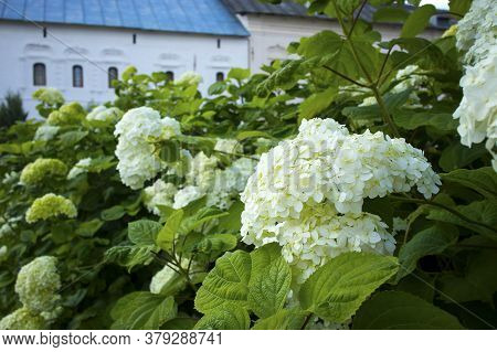 Hydrangea Flowering Bush Against The Background Of An Old Brick Wall And An Old Mail Box