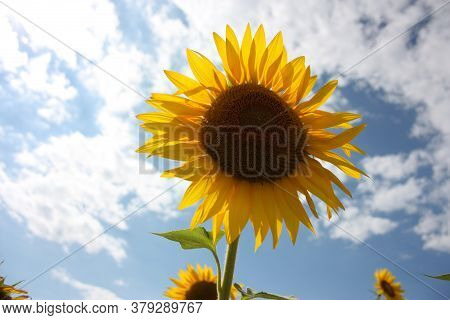 A Single Botanical Specimen Of Sunflower Plant Against The Blue Sky Clouds In The Countryside