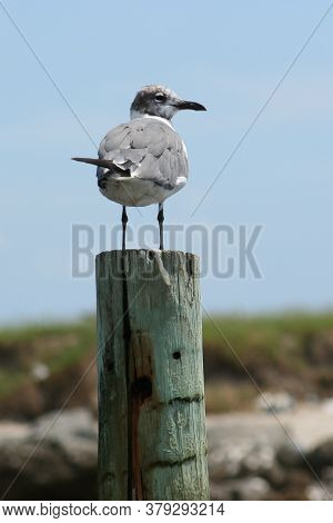Seagull Perched On A Piling In Front Of A Marsh