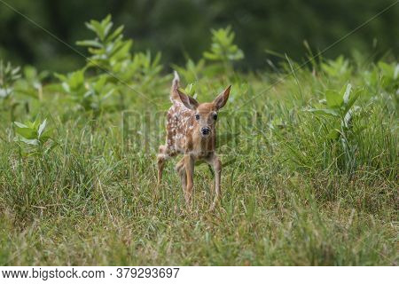 Baby White-tailed Deer Fawn Walks Through Tall Grass Field With Milkweed On A Summer Afternoon Cente