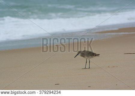 Fishin' Buddy; A Sandpiper Fishing Along The Shore