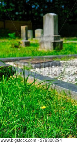 Yellow Dandelion In Old Cemetery With Gravestones In The Background