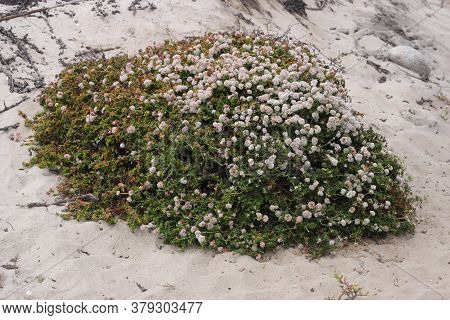 This Is An Image Of Native Plant Life In The Sans Of Asilomar State Beach In Pacific, Grove, Califor