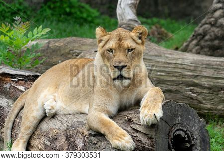 Lioness Resting Comfortably On Log Looking Into Camera