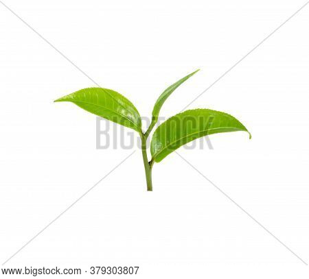 Fresh Green Tea Leaves On White Background