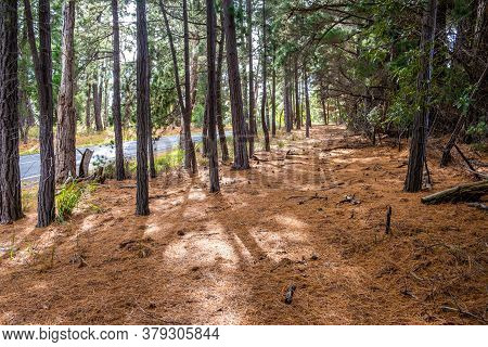 Walking Path Covered With Fir Needles Near Rural Road Among Conifer Trees