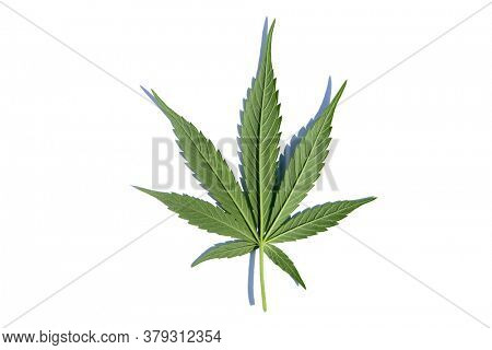 Marijuana. Cannabis. Cannabis Indica. Cannabis Sativa. Marijuana Leaf. Isolated on white. Room for text. Marijuana and Cannabis is legal in many of the United States for Medical and Recreational Use.