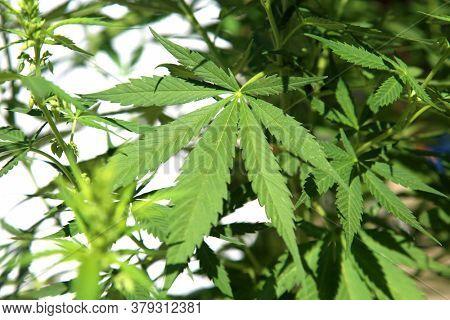 Marijuana. Cannabis. Cannabis Indica. Cannabis Sativa. Marijuana Leaf. Isolated on white. Room for text. Male Marijuana Plant with Pollen Sacks. Close up of Cannabis Leaf.