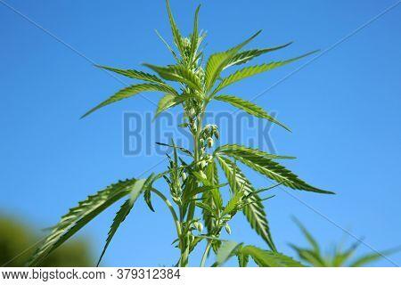 Marijuana. Cannabis. Cannabis Indica. Cannabis Sativa. Male Marijuana Plant with Pollen Sacks with a Blue Sky Background.