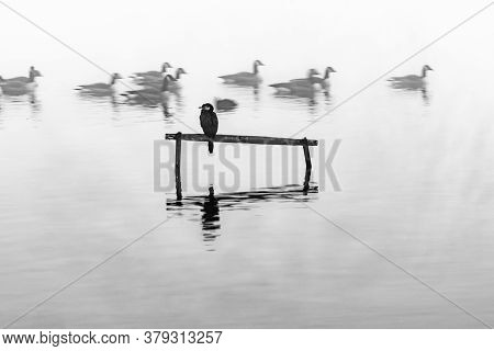 Little Shag Or Cormorant Perched On Stand In Calm Water Surrounded By Mist While Canada Geese Float