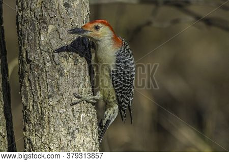 Close Up Of A Red-bellied Woodpecker In The Woods