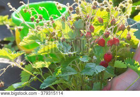 Ripe Red Strawberries On A Bush Are Ripe In The Garden
