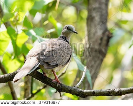 Closeup Spotted Dove Perched On Branch Isolated On Nature Background